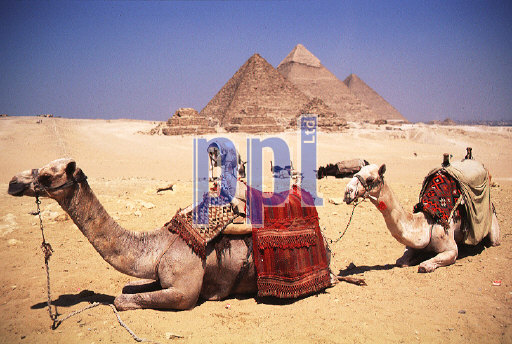 Camels at the Pyramids of Giza Egypt