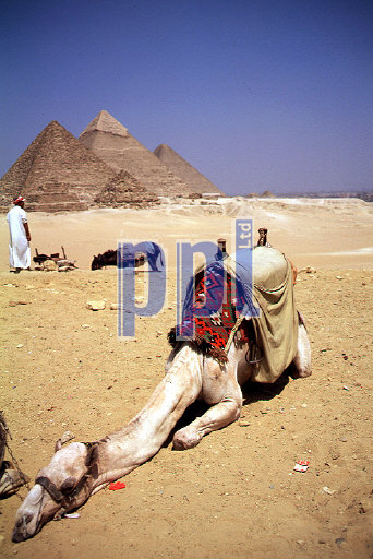 Camels at the Pyramids of Giza Egypt