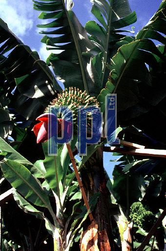 Banana plantation Madeira Portugal
